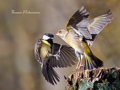 Embrassade ? (fribodo) Tags: bird vol oiseaux