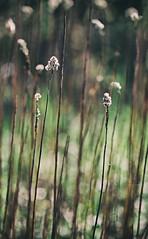 Kaum mssen die alten Blumen nichts mehr arbeiten, werden sie kitschig und malen mit Licht rum. (Manuela Salzinger) Tags: light sun flower licht spring meadow wiese colourful blume sonne bunt frhling