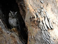 Owl (cn174) Tags: india nationalpark tiger tigers rajasthan ranthambhore tigerreserve ranthambhorenationalpark ranthambhorebagh