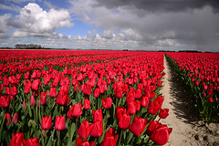 tulip bulb fields (larry_antwerp) Tags: flower nederland tulip tulipa bloem tulp dirksland bloembol