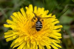Wildbiene auf einer Lwenzahnblte - Wild bee sucking on a dandelion blossom (riesebusch) Tags: berlin garten marzahn