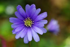 Blue and yellow (pentars) Tags: blue wild flower color colour macro nature beautiful yellow spring close pentax bokeh fa100 k5ii
