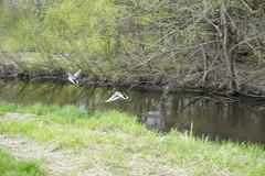 033.FlyingMallard-park (aetherspoon) Tags: park duck mallard greentree