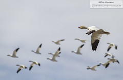 Snow goose (eric marceau) Tags: wild snow canada bird animal fly spring quebec wildlife flight goose cap migration tourmente