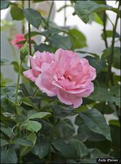 Pink Rose IZE_15647 (Zachi Evenor) Tags: flowers roses flower rose garden israel gardening april mygarden    2016 rosea            zachievenor
