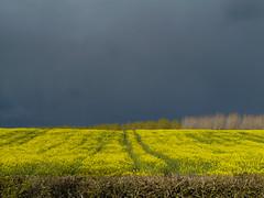 field of rape seed beneath a black sky (mds63ie) Tags: sky weather herefordshire treeline rapeseed darkskies leominster