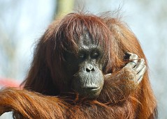 Orang-utan (Pongo pygmaeus) (Annette Rumbelow) Tags: beauty sumatra indonesia rainforest malaysia borneo orangutan endangered playful tenderness pongo pygmaeus gentlegiant portraitshot monkeyworlddorset monkeyworldaperescuecentre savehaven deepexpression annetterumbelowwilson europeanbreedingprogrameepgreat apesoulfuleyes