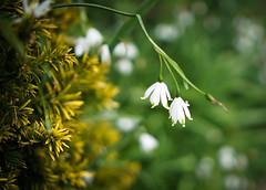 Little white snow bells (judy dean) Tags: flowers while 2016 snowbells judydean sonya6000