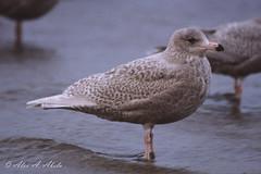 Glaucous Gull - ist Year - December (aaabela) Tags: bird december gull aves larus 1styear laridae charadriiformes glaucousgull larushyperboreus hyperboreus chordata