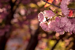 in the pink - 122/366 (auntneecey) Tags: pink tree blossoms day122366 366the2016edition 3662016 1may16