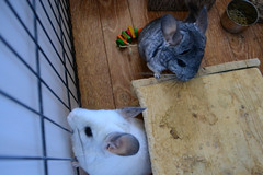 Tifa and Neneko Explore Together (Vegan Butterfly) Tags: wood cute animal fur rodent vegan furry adorable chinchilla shelter adopted tifa neneko