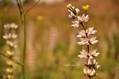 (wickedhair) Tags: california pink flowers white mountains flower macro green nature fleurs landscape landscapes petals nikon wildflowers sierranevada wildflower wickedhair d7000 wendielou