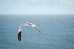 Wing Commander (coastwalker) Tags: ocean blue bird starwars flight vogel helgoland basstlpel coastwalker