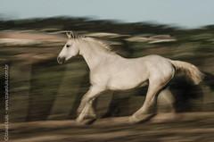 _DSC8783 (Izaias Lus) Tags: brasil caballos photography photographie cavalos equestrian equine nordeste chevaux equino haras equestre garanhunspe