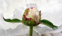 'Prodigal Son' (Canadapt) Tags: flower leaves rain petals peony bud keefer canadapt