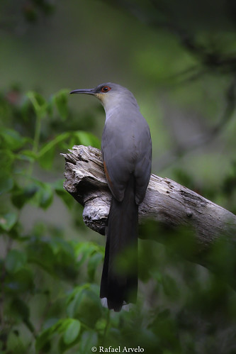 Pájaro Bobo / Coccyzus longirostris / Hispaniolan lizard cuckoo