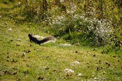 DSC02468.jpg (joe.spandrusyszyn) Tags: nature animal mammal rodent squirrel unitedstatesofamerica rochester newyorkstate rodentia henrietta vertebrate sciuridae sciuruscarolinensis easterngraysquirrel treesquirrel sciurus tinkernaturepark byjoespandrusyszyn