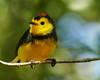 Collared Redstart (Norman Graf) Tags: bird animal costarica aves centralamerica collaredredstart myioborustorquatus savegrenaturalreserve