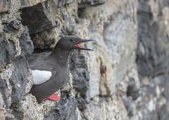 Black Guillemot (Osgoldcross Photography) Tags: red sea summer bird feet stone wall scotland nikon raw nest beak feathers seawall oban nesting webbed plumage guillemot blackguillemot nikond810