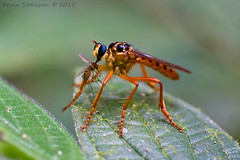 Robber fly (Kevin Stohlgren) Tags: macro fly costarica sony sigma mosquito prey osa robber a77 osapeninsula 70mm