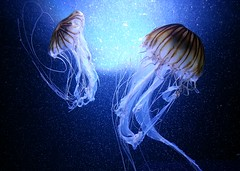 (ariannabru) Tags: blue light sea jellyfish mare blu sealife jelly azzurro colori acquario animalplanet animali luce seanettle oceano meduse trasparenza animalphoto