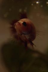 Vanilla Spice (Sarah_Brigham) Tags: red orange white fish nature water girl animal yellow closeup female beige nikon bokeh spice tan vanilla aquatic betta naturephotography siamesefightingfish animalphotography aquariumphotography nikond5200 sarahbrigham