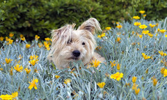 Amongst the Flowers (valevicki) Tags: flowers dog cute garden terrier smalldog scruffy silky terrrier petdog