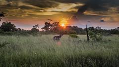 Waterbuck at sunset (Sheldrickfalls) Tags: sunset southafrica krugernationalpark mpumalanga krugerpark kruger satara waterbuck s100 sataracamp krugersunset s100sunset