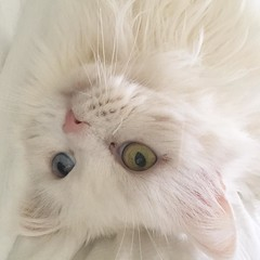 The furbeast says #tgif too #cat #instacats #cats #whitecat #oddeye #persian #friday (momfluential) Tags: cats cat persian friday too says tgif whitecat the oddeye furbeast instacats