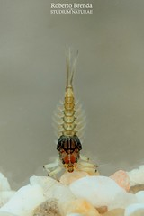 Baetis rhodani nymph male (Roberto PE) Tags: ephemeroptera baetis baetidae rhodani