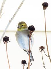 Goldfinch on a Seedhead (mahar15) Tags: nature birds outdoors wildlife goldfinch finch americangoldfinch backyardbirds