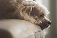 Stewie (geelog) Tags: dog pet canada calgary dof ab indoor serene relaxed stewie