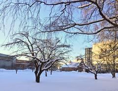 Sndekket eplehage i Kabelgaten p kern (jonarnefoss2013) Tags: winter snow oslo norway bjerke kern visitoslo kabelgaten