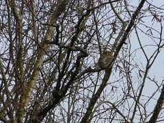Northern Pygmy-Owl (Glaucidium gnoma) (misiekmintus) Tags: canada birds vancouver bc birding raptor owl pacificnorthwest birdwatching ptaki pittmeadows northernpygmyowl glaucidiumgnoma