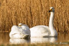 Wilde Zwaan / Whooper Swan -1644 (rob.bremer) Tags: water dunes aves duinen riet kennemerduinen whooperswan cygnuscygnus duinlandschap wildezwaan infiltratiegebied noordhollandsduinreservaat