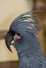 Palm Cockatoo (quinet) Tags: malaysia kualalumpur 2015 kualalumpurbirdpark tamanburungkualalumpur palmcockatoo proboscigeraterrimus greatblackcockatoo goliathcockatto
