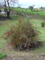 starr-070320-5727-Russelia_equisetiformis-habit-Sun_Yat_Sen_Park_Keokea-Maui (Starr Environmental) Tags: russeliaequisetiformis