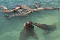 DSCF1170150216 (pato danitz) Tags: lobos marinos guanaqueros