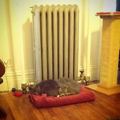 Grey Boy and Augie join forces with the radiator to fight the winter blahs #snowmageddon2016 #catbros #catsofbushwick (Jimmy Legs) Tags: winter boy grey fight with join radiator forces augie blahs catbros catsofbushwick snowmageddon2016