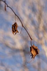 Bokeh Leaf (NVenot) Tags: blur leaves leaf dof bokeh outdoor depthoffield speedlight