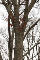 Red oak 8197*A (smrozak) Tags: redoak quercusrubra suzannemrozak