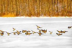 Geese Landing on Frozen Chambers lake (Daveyal_photostream) Tags: motion nature birds outdoors flying geese movement nikon outdoor flight landing naturephotography d600 nikor awesomeshots beautyofnature mycamerabag landingbirds mygearandme meandmygear soniagallery