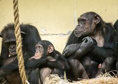 Chimp (Hans van der Boom) Tags: family netherlands animal chimp nederland chimpanzee nl safaripark beeksebergen noordbrabant hilvarenbeek hilarenbeek