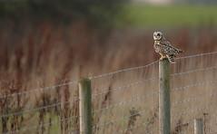 Shoert-eared Owl