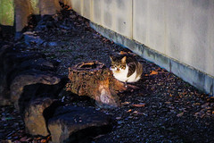 Today's Cat@2016-01-30 (masatsu) Tags: cat pentax cc100 catspotting mx1 thebiggestgroupwithonlycats