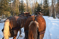 """Elk Viewing Sleigh Ride - Thunder Bay Resort, Hillman MI (Corvair Owner) Tags: bridge trees winter horse snow cold sport mi forest golf bay cabin woods day carriage ride outdoor michigan 14 scenic resort course gourmet trail mich dining supper elk february drawn sleigh viewing thunder hillman alpena 2016 """"snow valentine's covered"""""""