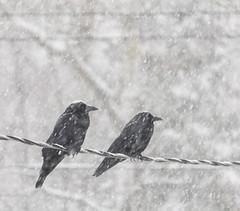Black and White (Boreal Bird) Tags: winter blackandwhite snow crows fallingsnow maryamerman