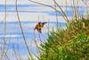 Martin-pêcheur d'Europe femelle (Alcedo atthis) (yann.dimauro) Tags: france animal fr extérieur oiseau rhone rhônealpes givors ornithologie yanndimauro