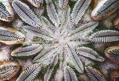 Pelecyphora aselliformis (GaboUruguay) Tags: cactus plant planta cacti mexico weird succulent desert collection exotic desierto rare rara suculenta coleccin coleccion crasas pelecyphora pelecyphoraaselliformis endangeredplant aselliformis peyotillo floraofmexico threatenedplant