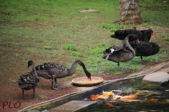 Another Meal (PLOphotos) Tags: camera summer nature canon landscape lunch natural magic ducks canarias meal moment